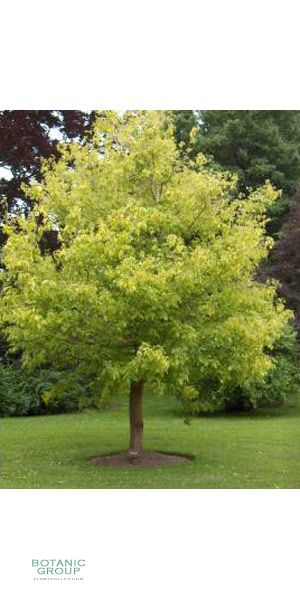 Acer Negundo Box Elder Ashleaf Maple