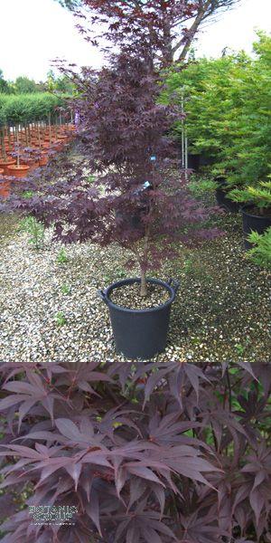 acer palmatum atropurpureum rotbl ttriger japanischer. Black Bedroom Furniture Sets. Home Design Ideas