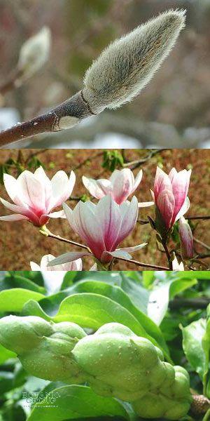 magnolia soulangeana tulpen magnolie in sorten. Black Bedroom Furniture Sets. Home Design Ideas