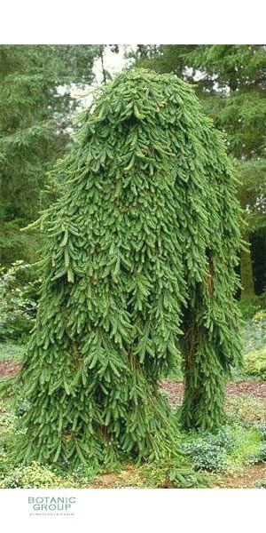 Picea Abies Inversa Pendula
