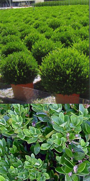 buxus sempervirens 39 rotundifolia 39 kegel schnitt. Black Bedroom Furniture Sets. Home Design Ideas