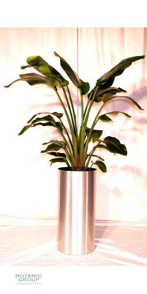 Zimmerpflanze Strelizia Nicola