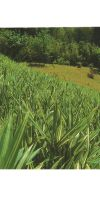 Bambus - Pleioblastus fortunei