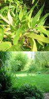 Bambus - Pleioblastus pygmaeus