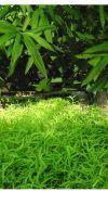 Bambus - Pleioblastus viridistriatus