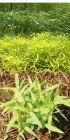 Bambus - Pleioblastus viridistriatus  ´Chrysophyllus´
