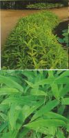 Bambus - Pleioblastus viridistriatus´Vagans´