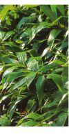 Bambus - Sasa admirabilis