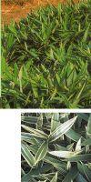 Bambus - Sasa masamuneana ´Albostriata´