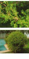 Bambus - Bambusa multiplex ´Elegans´