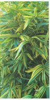 Bambus - Hibanobambusa tranquillans ´Shiroshima´