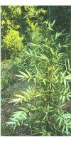 Bambus - Pleioblastus shibuyanus ´Tsuboi´