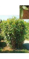Bambus - Sasa latifolia