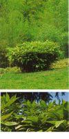 Bambus - Sasa palmata ´Nebulosa´