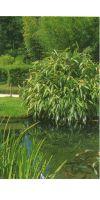 Bambus - Sasa tesseleata