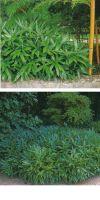 Bambus - Sasa tsuboiana