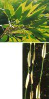 Bambus - Hibanobambusa tranquillans