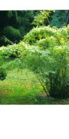 Bambus - Himalayacalamus asper