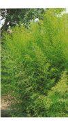 Bambus - Phyllostachys aurea Holochrysa