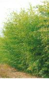 Bambus - Phyllostachys bissetii