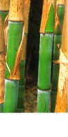 Bambus - Phyllostachys dulcis