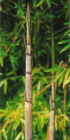 Bambus - Phyllostachys humilis
