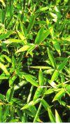 Bambus - Phyllostachys manii