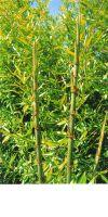 Bambus - Phyllostachys nidularia