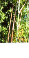 Bambus - Phyllostachys nuda