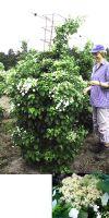 Hydrangea petiolaris - Kletterhortensie