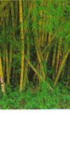Bambus - Bambusa vulgaris ´Striata