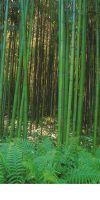 Bambus - Phyllostachys bambusoides