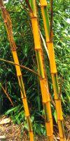 Bambus - Phyllostachys bambusoides ´Castillonis´