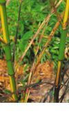 Phyllostachys bambusoides ´Castilloni inversa´