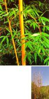 Bambus - Phyllostachys bambusoides ´Holochrysa´
