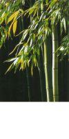 Bambus - Phyllostachys viridiglaucescens