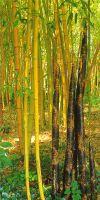 Bambus - Phyllostachys viridis ´Sulfurea´