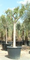 Ceratonia siliqua - Johannisbrotbaum