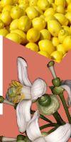 Citrus limon - Zitrone, Citrus x limon