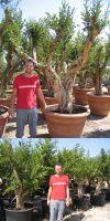 Punica granatum - Pomegranite