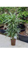 Dracaena deremensis - Drachenbaum, verweigt Zimmerpflanze