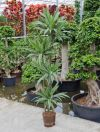 Dracaena Deremensis - Dracaena with sticks