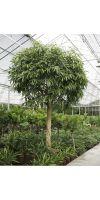 Ficus alii Stammwuchs XXL- Feigenbaum