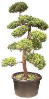 Taxus cuspidata Bonsai - Japanische Eibe