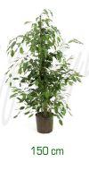 Ficus benjamina - Birkenfeige