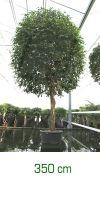 Ficus benjamina stem