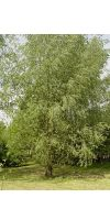 Salix alba - Willow