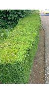 Buxus sempervirens Arborescens - Heckenpflanze Buchshecke