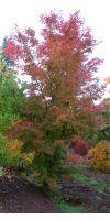 Acer palmatum Atropurpureum - Rotblättriger jap. Fächerahorn