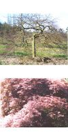 Acer palmatum Dissectum Garnet - japanischer Schlitzahorn